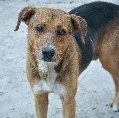 देसी नस्ल के कुत्तों की अब विदेशों में भी माँग है