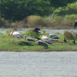 फ्लैमिंगो, क्रेन, डक सहित कई अन्य पक्षियों की प्रजातियां यमुना किनारे आए दर्शकों को अठखेलियां दिखा रहे हैं.
