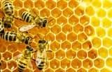 मधुमक्खियों को बचाने के लिए आईवीआरआई नहीं बेचेगा शहद