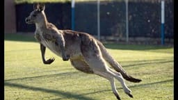 Kangaroo Invades the Football Field