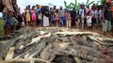 300 crocodiles slaughtered by Indonesian mob