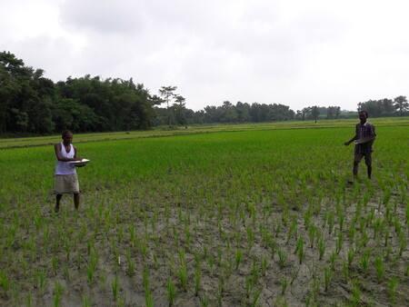 बारिश से धान की फसल को पहुंचा फायदा, किसानों के चेहरे पर खुशी