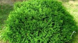 मोरपंखी का सूखा हुआ पौधा