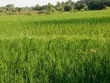 पाकुड़ में 70 प्रतिशत हुई है रोपनी, बारिश नहीं होने से सूखने लगे धान