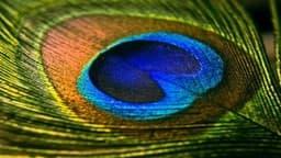 Vastu Tips: मोरपंख के ये चमत्कारी उपाय हैरान कर देंगे आपको