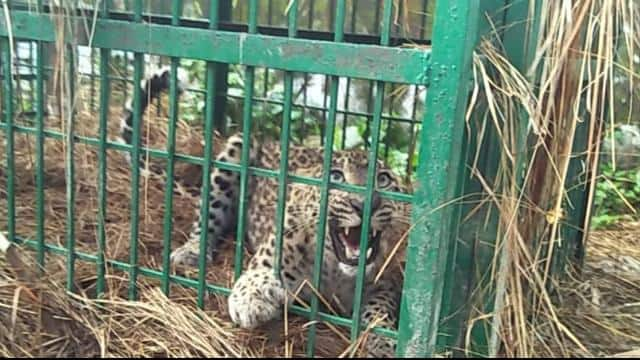 Leopard trapped in cage in school