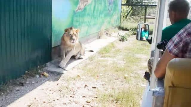 lion climbs into safari vehicle in crimea