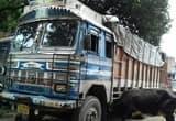 बगोदर पुलिस का छापा, दो ट्रक समेत 52 मवेशी जब्त
