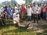 ताहिरपुर गांव में मगरमच्छ को पकड़ते ग्रामीण
