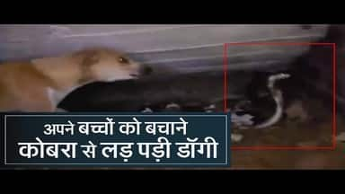 female Dog rescues her puppies from cobra in odisha II Odisha News II Cobra attacks puppies