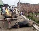 टूटे बिजली के तार, कलान और सिंधौली में चार जानवरों की मौत