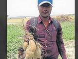 गोरखपुर का एक किसान, जो अपने खेतों में golden sweet potatoes उगा राह है। (एचटी फोटो)