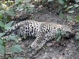 पीलीभीत टाइगर रिजर्व में सात माह में मर गए तीन तेंदुए