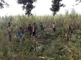 खेतों में कैटवाक कर रहे बाघ, फसल नहीं काट पा रहे किसान