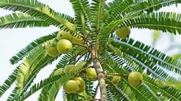 आंवला का पेड़ (साभारः shivji.in)