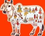 गोपाष्टमी आज, अमृत योग में करें गायों की पूजा
