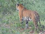 यहां बाघ का इतना खौफ कि किसानों ने बंद कर दी गन्ने की कटाई