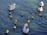ducks world
