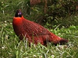Satyr Tragopan Bird