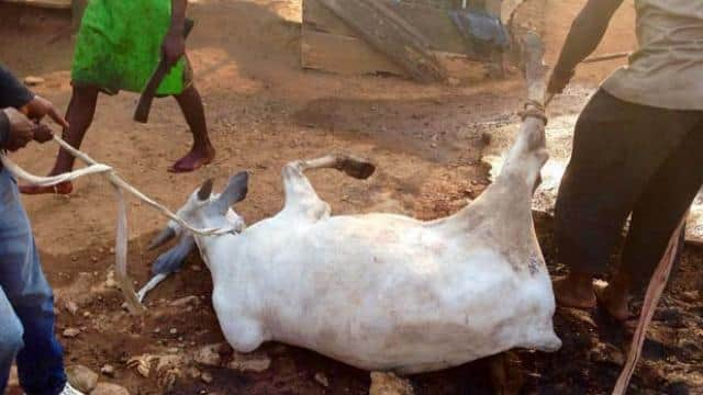 Cow slaughtering