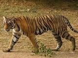 बाघ को किसान का फार्म हाउस आया पसंद, नौ बार पहुंचा
