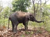 वाल्मीकिनगर जंगल से भटका हाथी