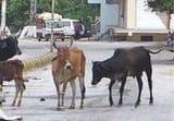 पशुओं को पकड़ने के लिए सड़क पर उतरी टीमें