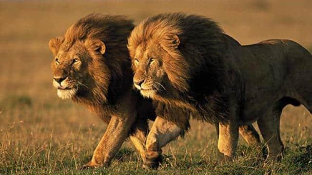 बब्बर शेर (pic credits: Smithsonian Magazine)