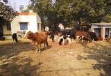 सरकारी स्कूलों में बच्चों की जगह आवारा पशु, पढाई ठप