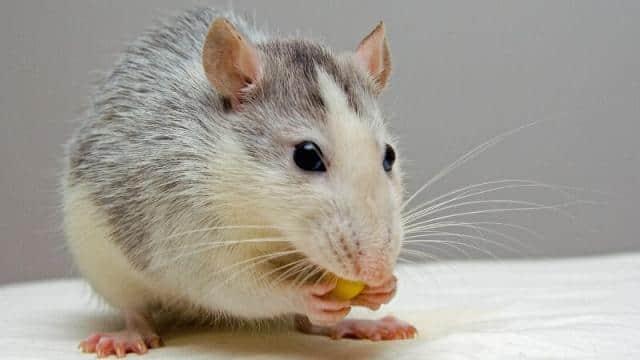 स्पेन की संसद में भाषण दे रहीं थीं स्पीकर, सामने निकल आया चूहा