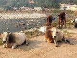 बागेश्वर नगर में आवारा जानवरों ने फिर डाला डेरा