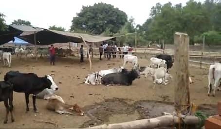 बमिहाना में बनी अस्थाई गोशाला का हाल बेहाल