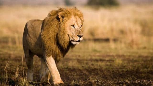 lion  demo pic