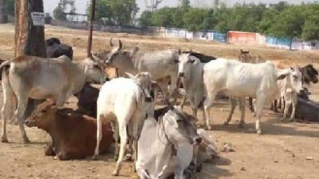 Image result for awara cow