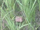 जयनगर के गोबराही के एक खेत में मिला तीन देसी बम