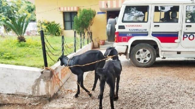 goats arrested