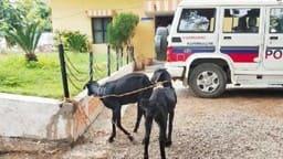OMG : जुर्म करते रंगे हाथ दो बकरियों को पकड़ा, थाने जाकर पुलिस को सौंपा