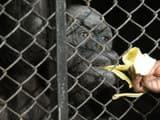 india oldest chimpanzee