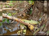 farmers hopes submerged in bhagalpur   banana crop wasted due to heavy rain and floods