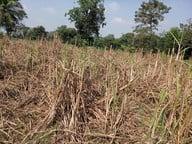 अररिया में गन्ने की खेती से अररिया के किसानों का हो रहा मोहभंग