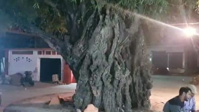 imli tree
