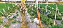 जैविक खेती: नौकरी छोड़ आर्गेनिक गन्ना उगा रहे विजय सिंह, बेच रहे गुड़-शक्कर