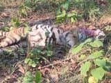 tiger body found in up national park stir in park administration