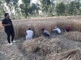 रेतीले विकास खंड हसनपुर में गेहूं कटाई शुरू