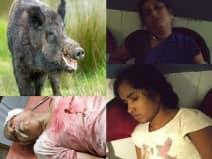 जंगली सुअरों का आतंक: घर में घुसकर पूरे परिवार को किया घायल