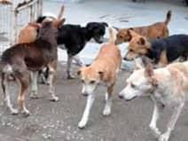अलीगढ़ में सात साल की मासूम पर 12 कुत्तों का हमला, बुरी तरह नोचा