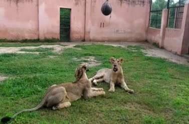 सफारी की शेरनी जेनिफर तथा गौरी ने जीती जंग