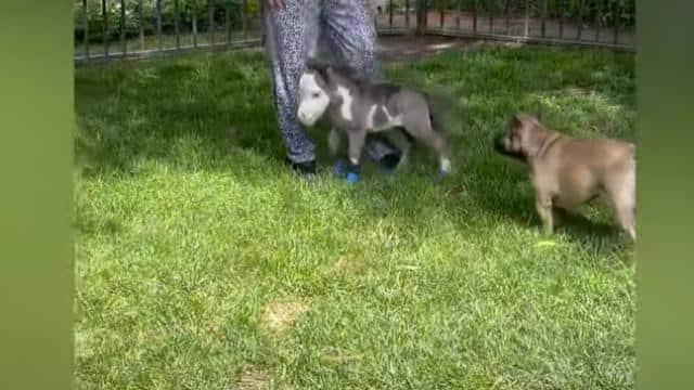 दुनिया के सबसे छोटे घोड़े को कद की वजह से मां ने भी छोड़ा, अब तीन कुत्तों से कर ली दोस्ती; देखें वीडियो