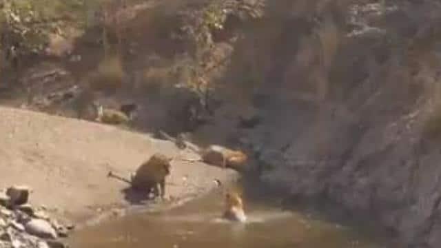 तालाब में नहाते बाघ की मस्ती देखकर सोशल मीडिया पर मजे ले रहे लोग, देखें वायरल वीडियो