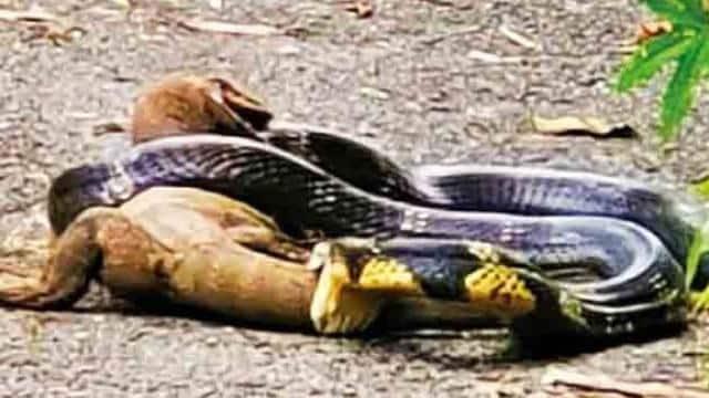 कोबरा और जंगली छिपकली के बीच जबरदस्त फाइट, वायरल हुआ वीडियो